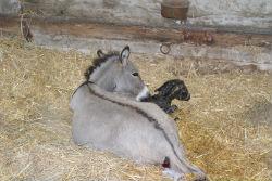 naissance ane miniature
